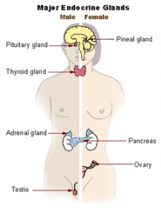 The endocrine system male and female shown
